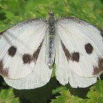 Mariposa de la col