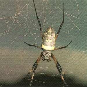 Araña dorada de tela orbital africana