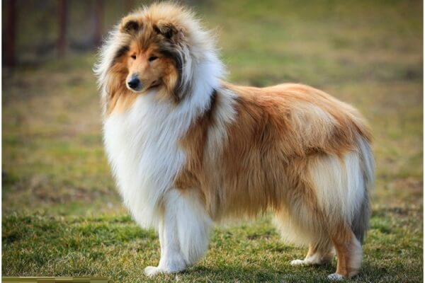 historia rough collie
