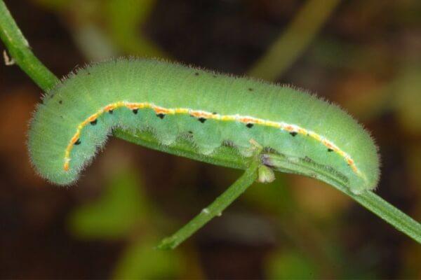 cómo se reproduce la mariposa colias de los pantanos
