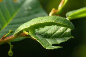 cómo se reproduce la mariposa limonera