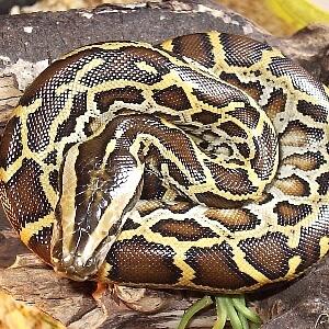 Python molorus