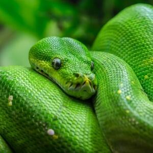Chondropython viridis
