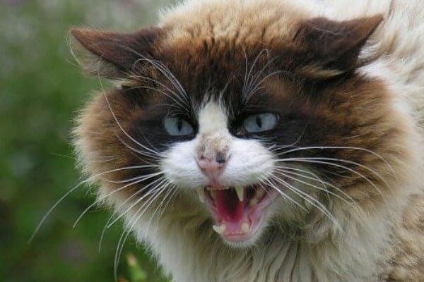 cómo es el bufido de los gatos