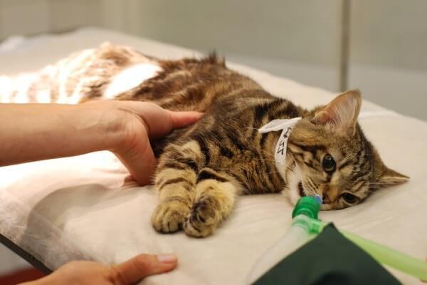 qué provoca la leucemia felina