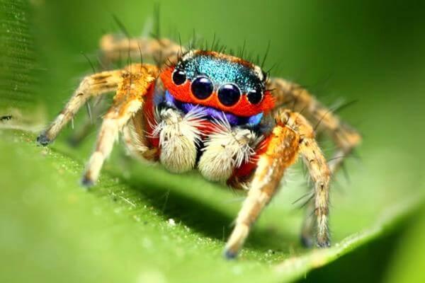 cómo se reproducen las arañas