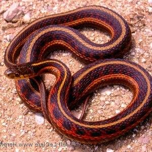 Thamnophis sirtalis parietalis
