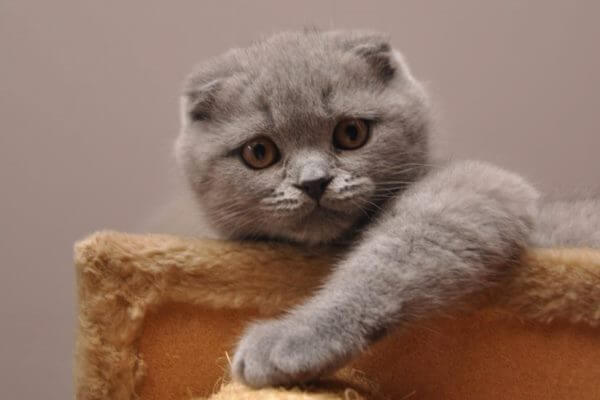 todo sobre scottish fold