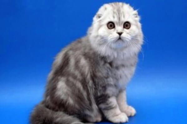 razas scottish fold