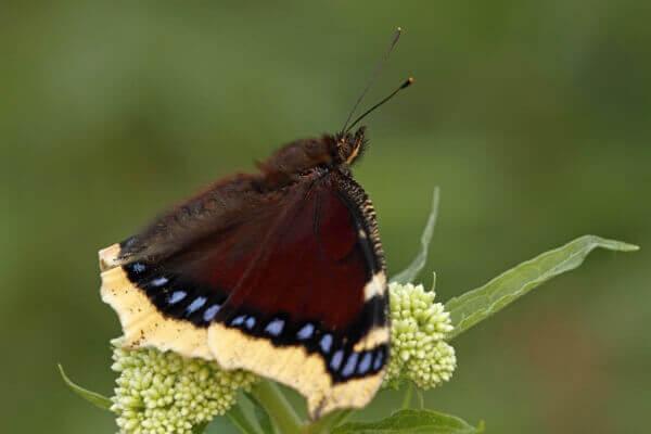qué come la mariposa antíope