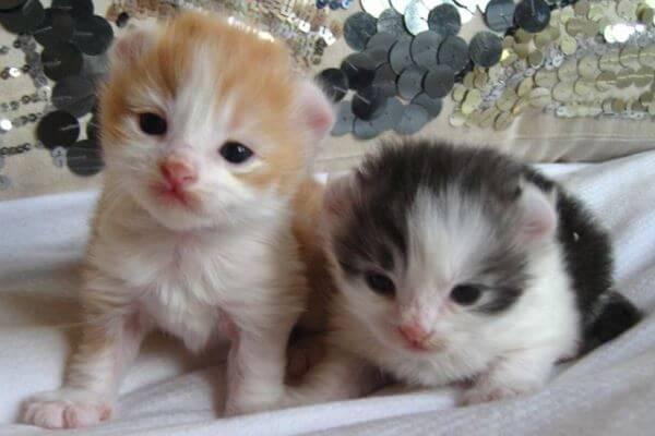 gatitos american curl