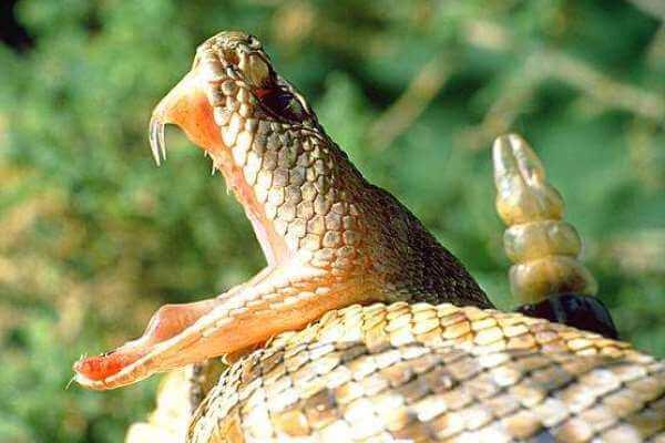 como es la boca de la serpiente - Boca y colmillos de una serpiente de cascabel