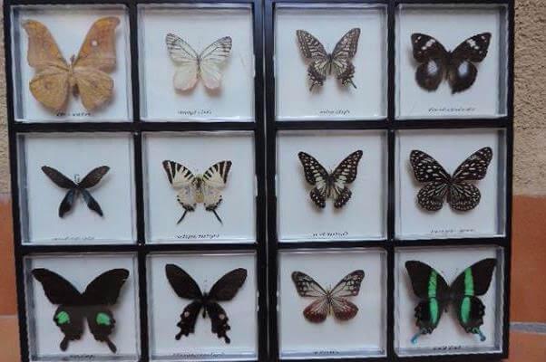cómo se deben coleccionar las mariposas