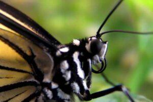 Cómo son las mariposas - Cabeza de una mariposa