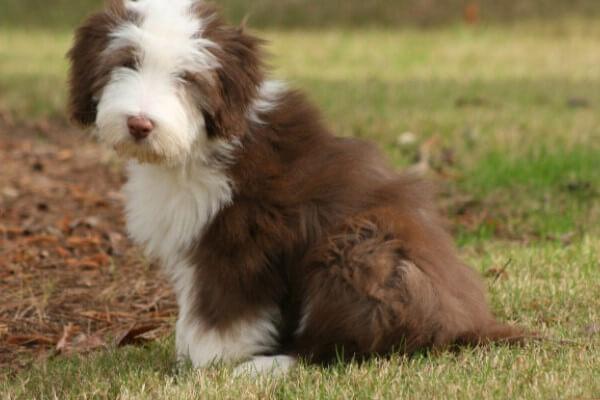 collie barbudo buen perro pastor