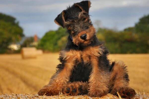 cachorro airedale terrier precio