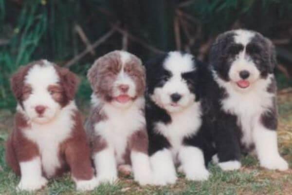 bearded collie cachorros