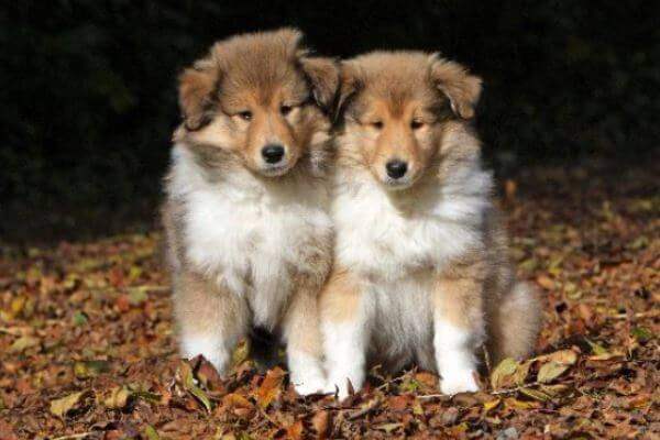 Origen raza rough collie
