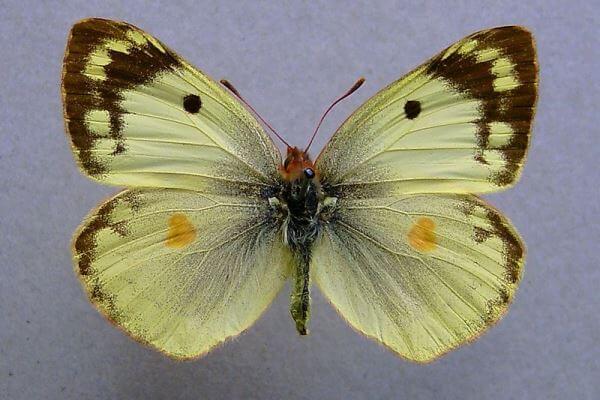 propiedades mariposa Colias Pálida