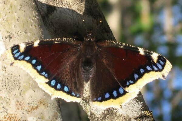 cómo es la mariposa antíope