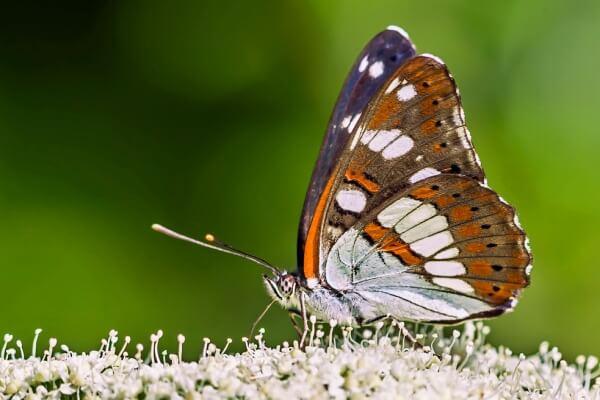 cómo es la mariposa ninfa mayor