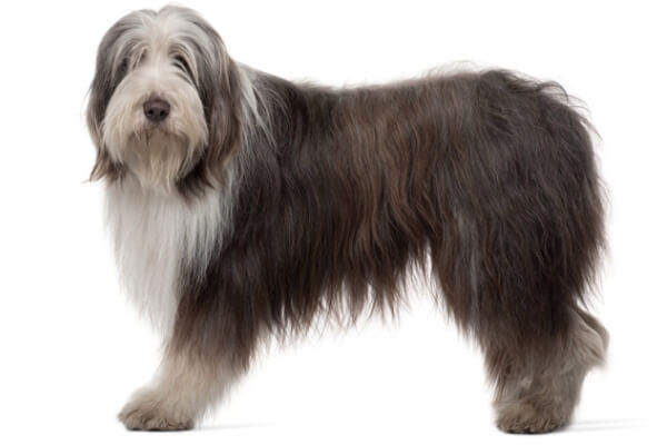 bearded collie cuerpo