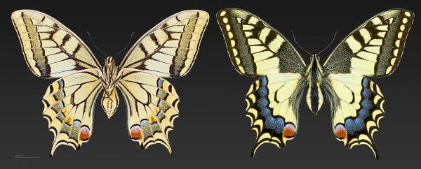 propiedades mariposa macaón