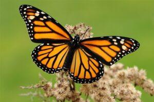 cómo son las mariposas adultas