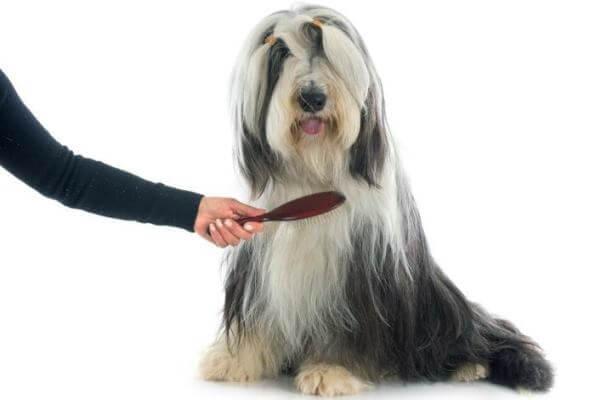 cómo cepillar bearded collie