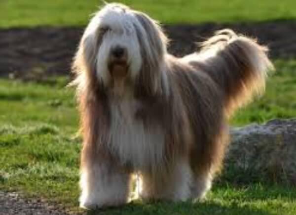 collie barbudo perro pastor