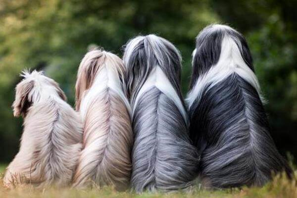 colores pelo bearded collie