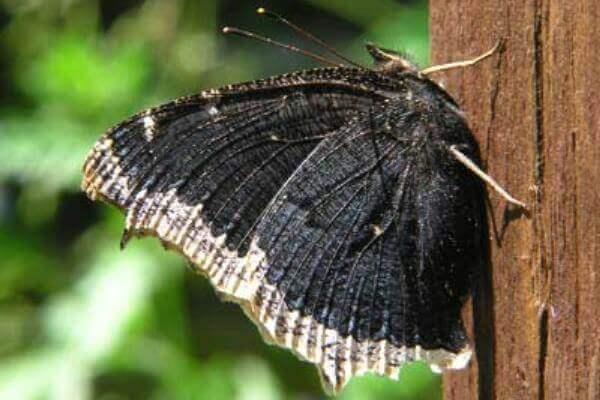 hábitat mariposa antíope