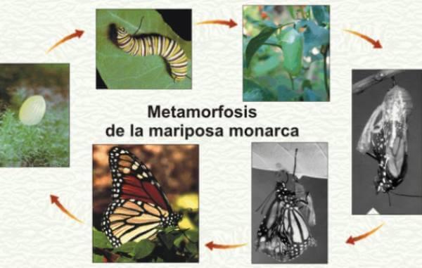 metamorfósis de la mariposa
