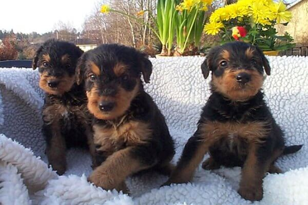 airedale terrier mantenimiento