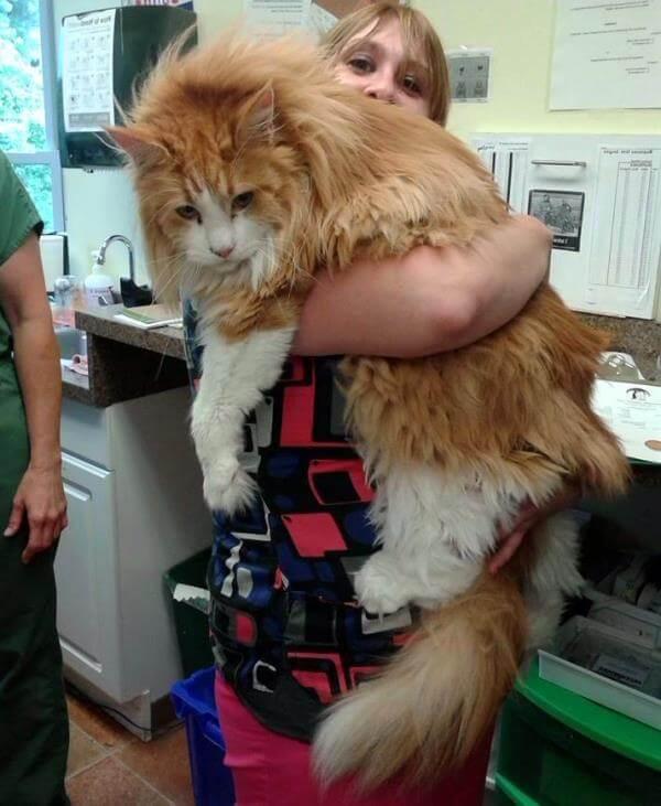 qué raza de gato es más grande