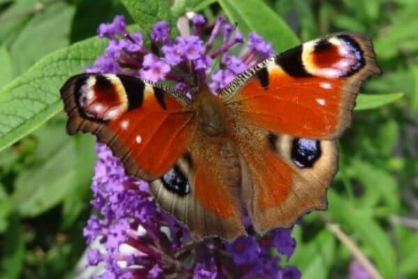 cómo es mariposa pavo real