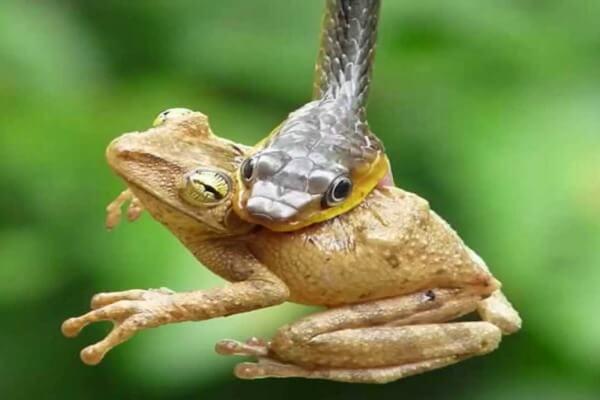 Cómo ingieren alimento las serpientes - Las serpientes pueden comer una gran variedad de animales