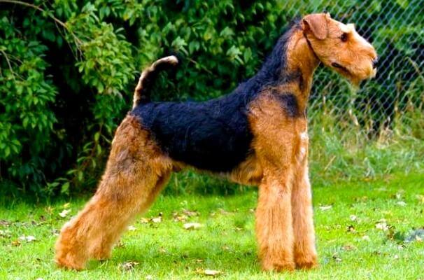 cómo educar airedale terrier