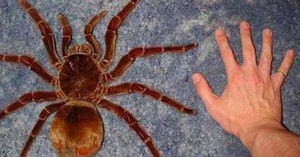Familia Theraphosidae - Ejemplar de tarántula Goliat