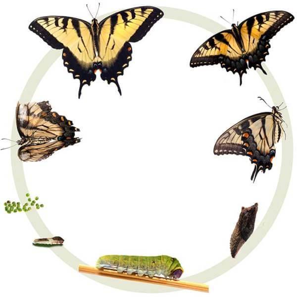 cómo criar mariposas