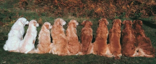 golden retriever colores