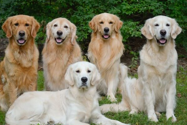 cómo cuidar a un golden retriever