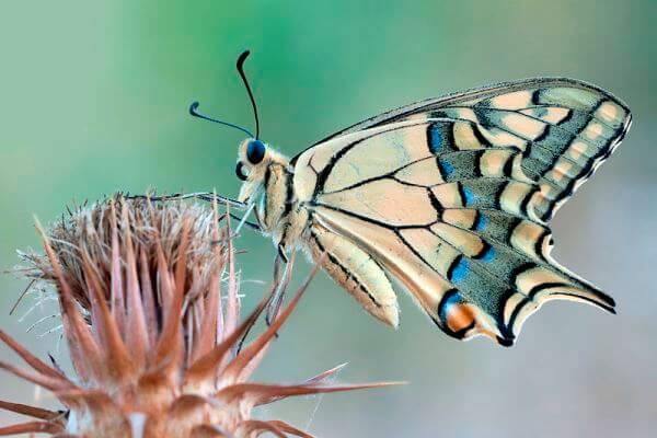 dónde vive mariposa macaón