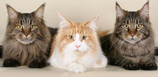 origen de la raza de gato maine coon
