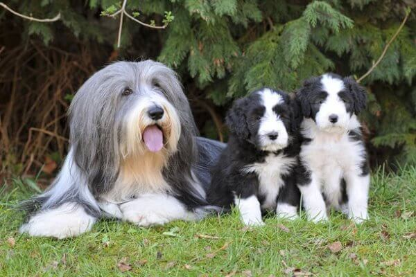 bearded collie historia