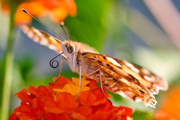 Cómo es la lengua de las mariposas - Detalle de la lengua en espiral de una mariposa