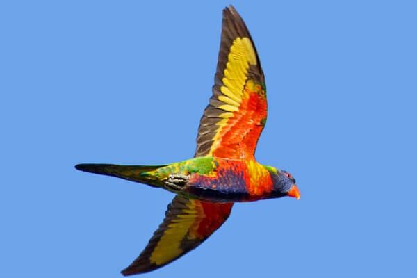 loris arco iris descripción