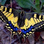 macaón mariposa cómo es