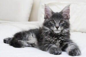 tipo maine coon silver tabby