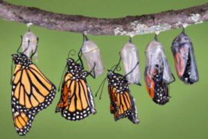 el proceso de cria de las mariposas